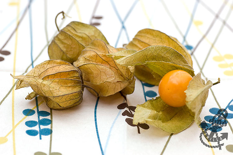 husk tomato ground cherry tomato cape gooseberry oha berry haranksh golden berry uchuva Inca berry uvilla sfivalis