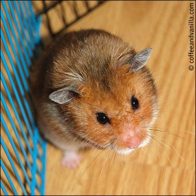 agouti colour color hamster