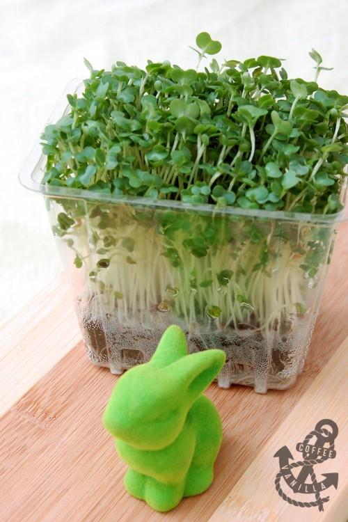 mustard cress salad cress garden cress