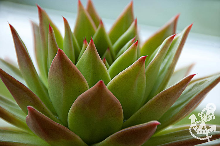 echeveria with spiky red coloured leaves