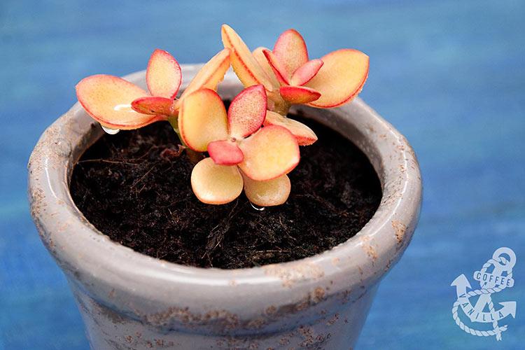 succulent crassula plant