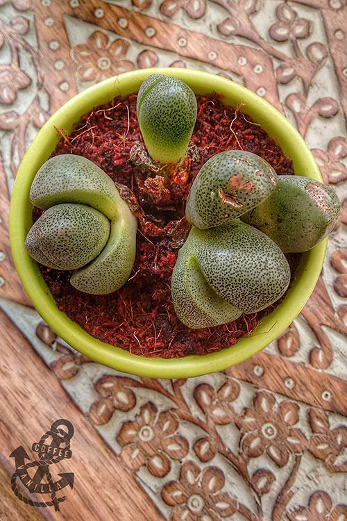 spotted Lithop succulent pebble plant split rock living stone plant cacti