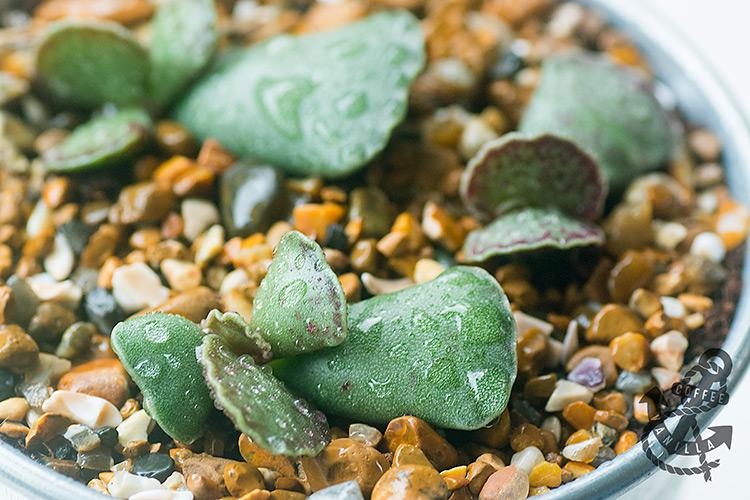 Adromischus cristatus, Cotyledon cristata, crinkle leaf plant, key lime pie