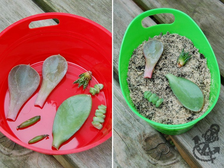 propagating succulents from leaves - step by step tutorial how to root succulents' leaves and cuttings
