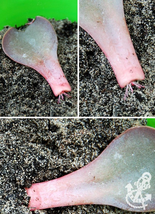 how to root succulents how to propagate purple echeveria