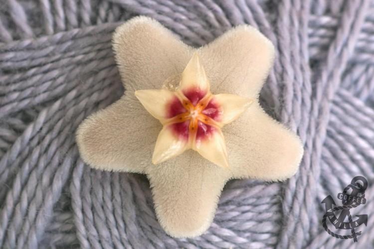 hoya carnosa blossom close photo flower macro photos