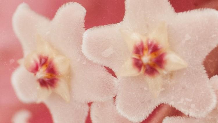 Hoya Carnosa & Other Wax Plants