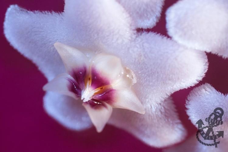 Hoya carnosa flower nectar hoya plant nectar