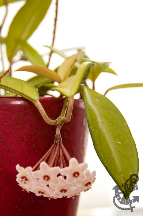 hoya species propagating hoya plant