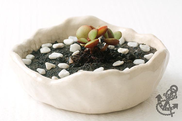 jade succulent bonsai