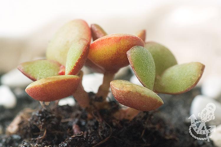 succulent bonsai plants