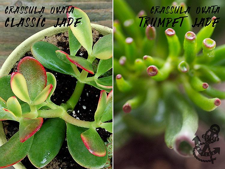 best succulents for bonsai trees