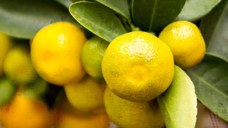 Calamondin Orange Tree / Citrofortunella Microcarpa / Citrofortunella Mitis – Info and Recipe Ideas