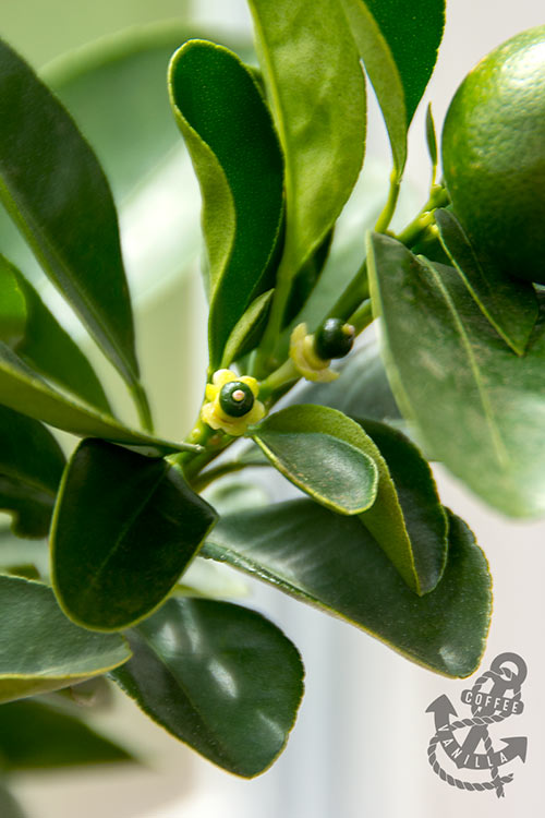 calamondin new fruits baby calamondin