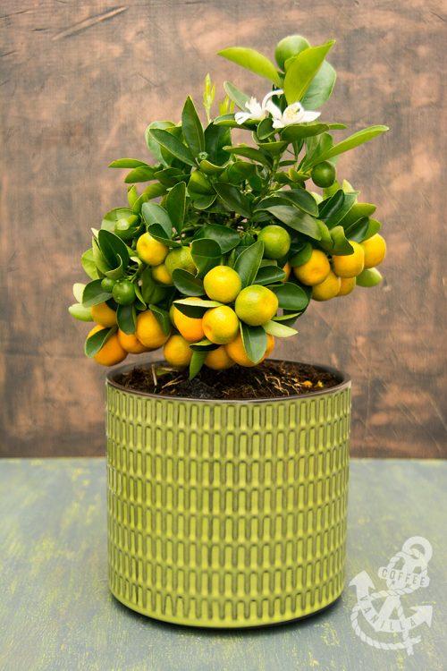 calamondin calamansi orange recipe ideas replanting care