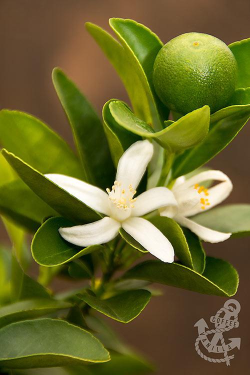limoncito limonsito Panama lime Chinese orange tree with blossom